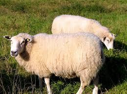 """Słowo """"wełna"""" napisane na metce, oznacza wełnę pochodzenia owczego"""