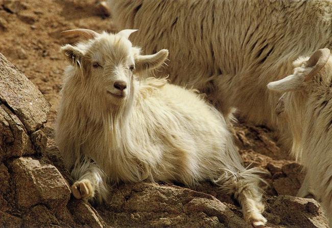 Kaszmirowa koza