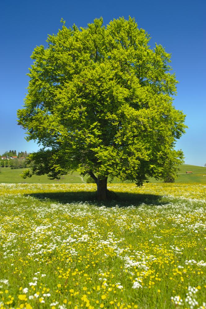 Wiskozę produkuje się z celulozy, pozyskiwanej z takich drzew jak buk