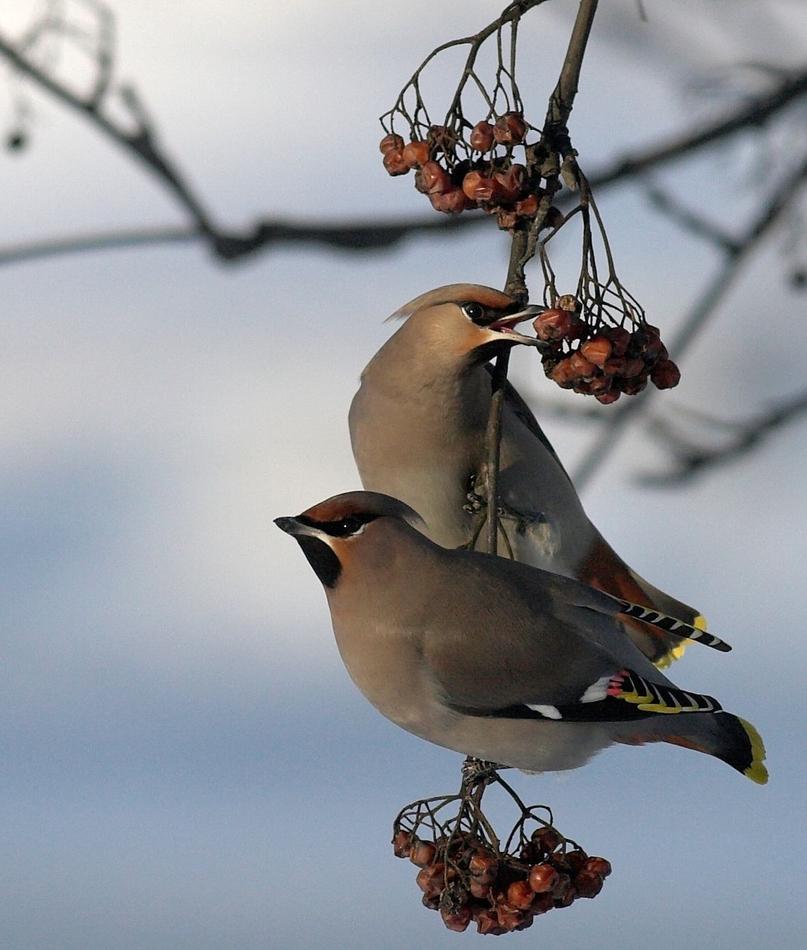 Owoce jarzębiny są odpowiednim pożywieniem dla skrzydlatych podopiecznych