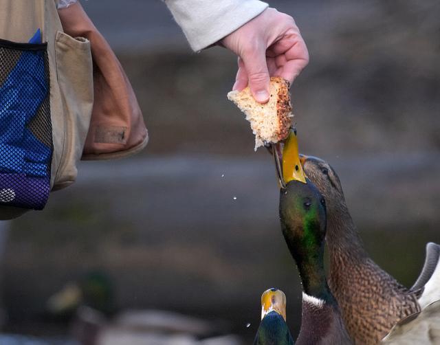 Karmienie ptaków resztkami nie jest odpowiedzialne