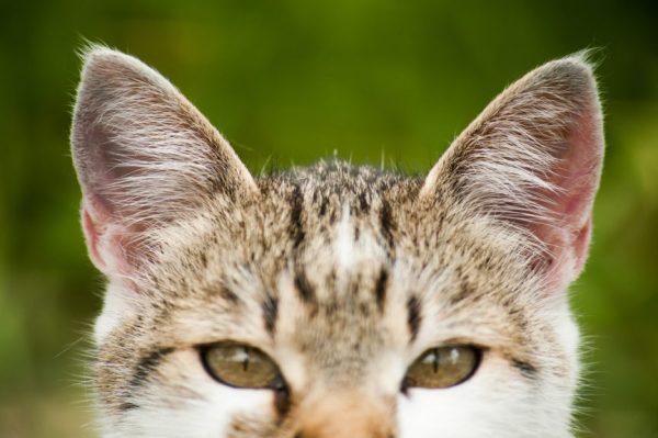 Kocie uszy